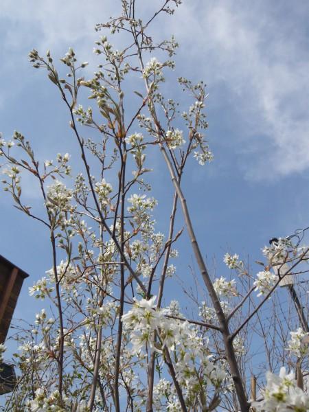 可愛らしい白花を咲かせます。