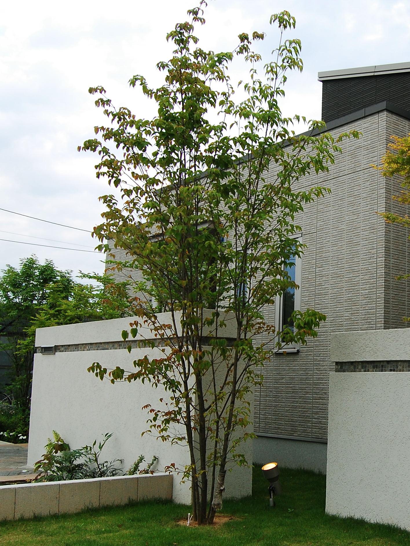 ヤマボウシの画像 p1_26