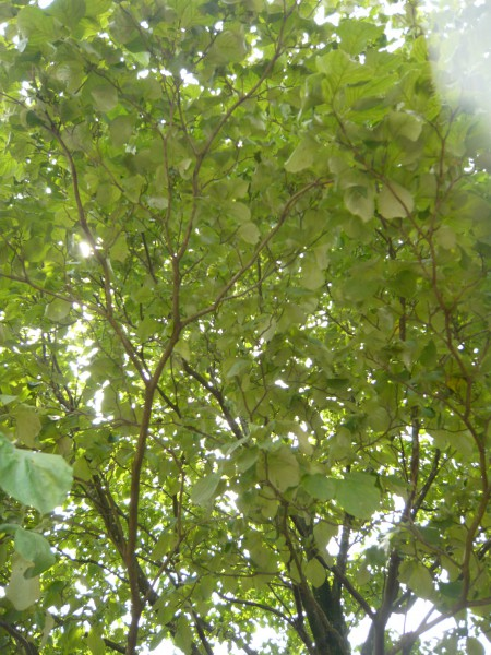 ハナミズキの間から射す木漏れ日