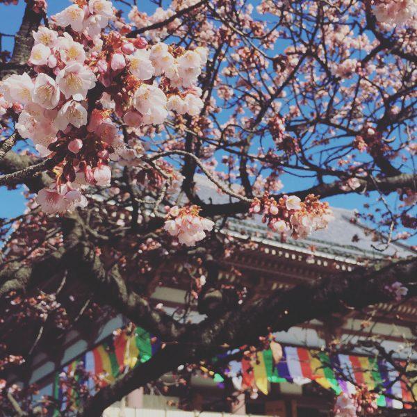 季節の花、早春、春、寒桜、カンザクラ、