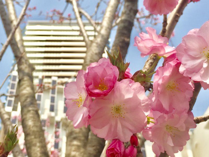 八重桜、ららぽーと柏の葉、柏の葉、桜
