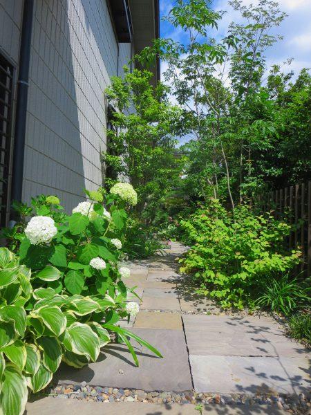 アジサイ、アナベル、涼やかな姿は夏の和の庭にも合いますね。