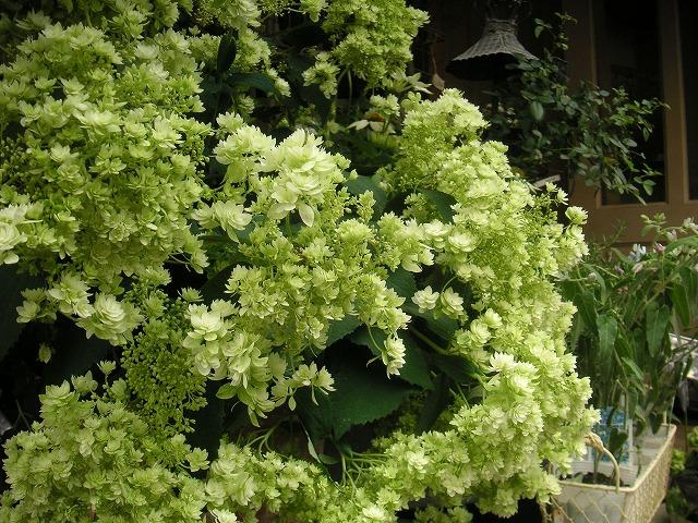 ガーデン 庭 エクステリア 外構 植物 ナチュラル アジサイ 日陰 日影 日かげ