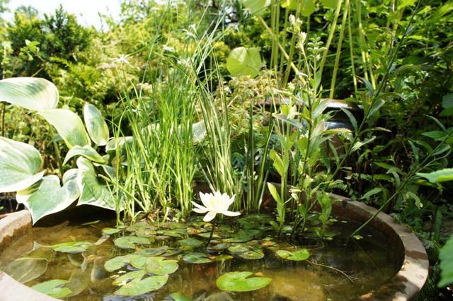 ミニビオトープ ガーデン 水辺 睡蓮 庭 水鉢 ナチュラル