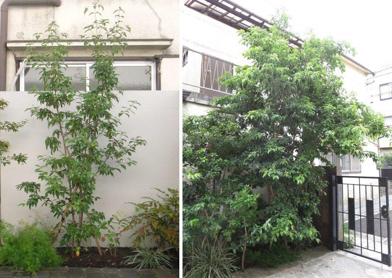 エクステリア&ガーデン(外構・お庭)でおすすめの庭木 常緑ヤマボウシ