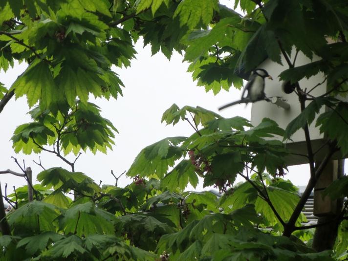 巣箱の新しい住人シジュウカラ