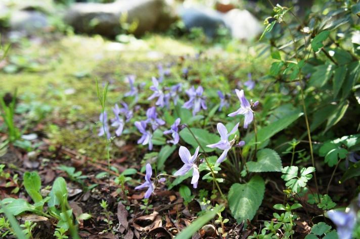 菫 お庭・春の気配