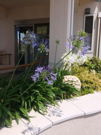 アガパンサス お庭 ガーデン