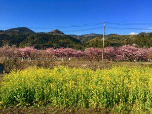 河津桜 景色