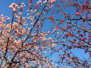 河津桜 梅の花
