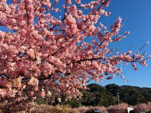 河津桜 満開 (2)