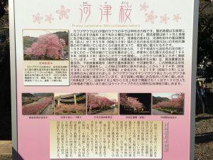 河津桜 資料