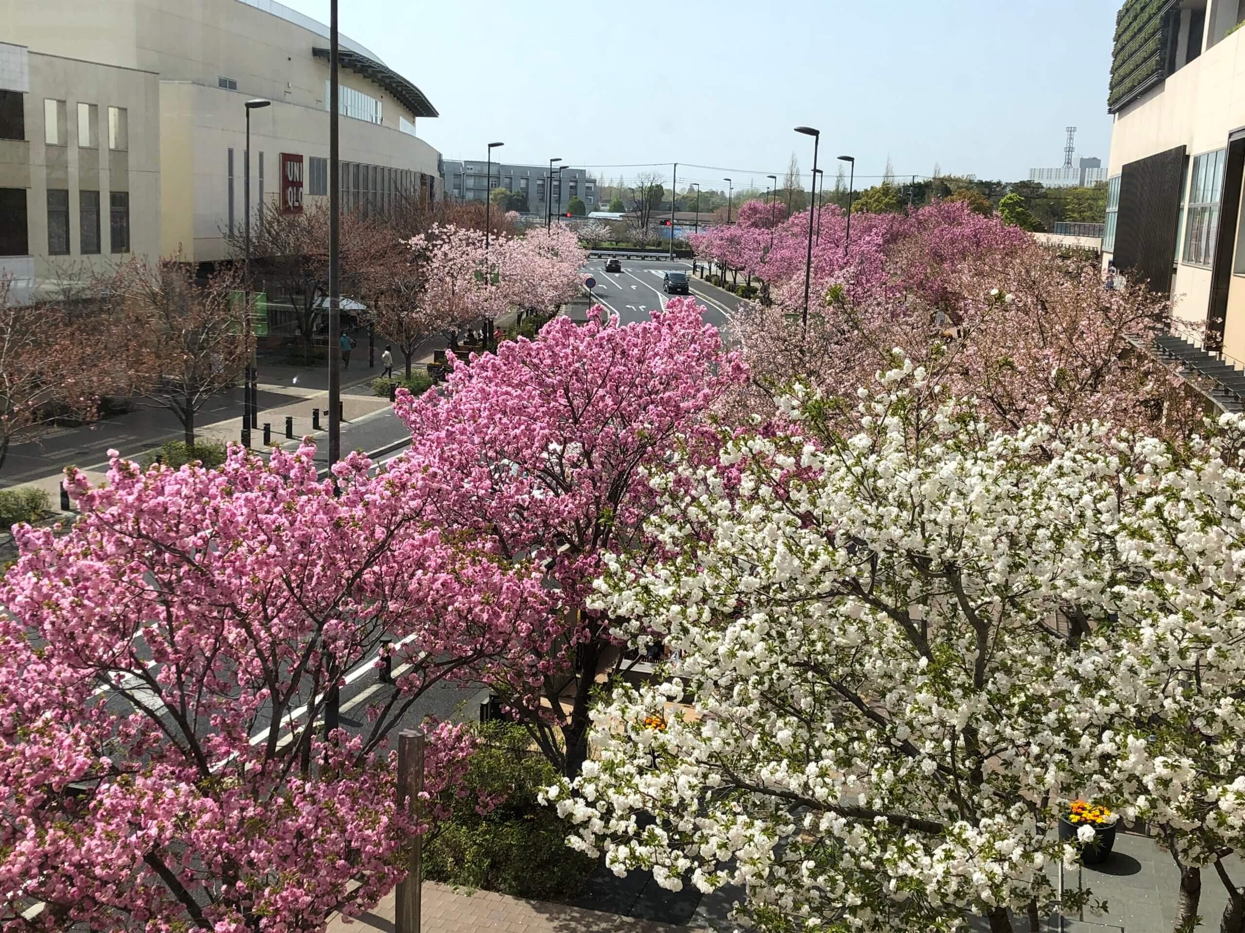 柏の葉を楽しもう!『柏の葉キャンパス駅前・桜並木が満開です』 <br>~流山、つくば市、市川市、さいたま市、八千代市でリフォーム工事をお考えのお客様へ~